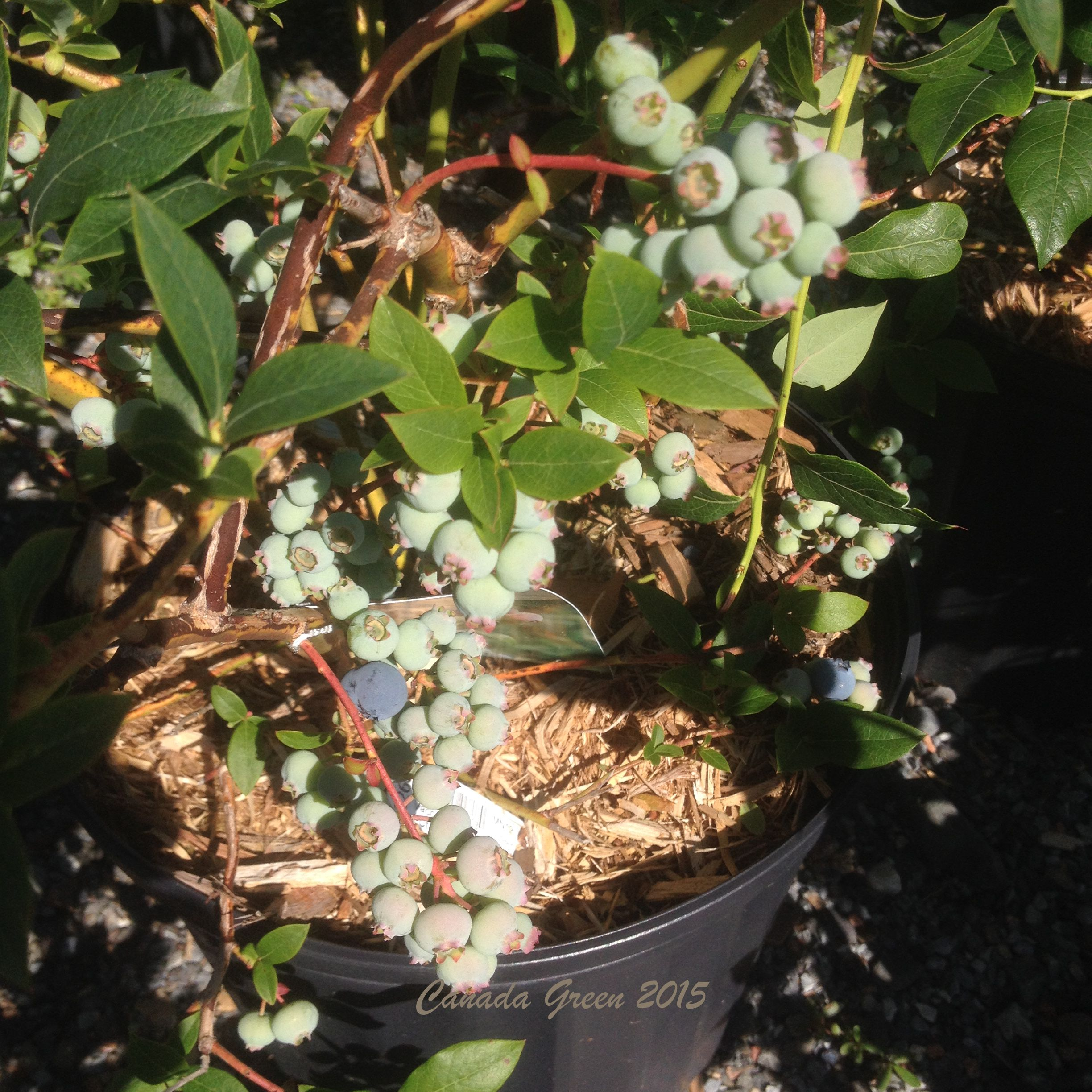 Blueberries 1 signed